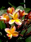 Plumeria Auction